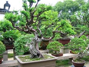Un bonsaï géant à Suzhou, en Chine